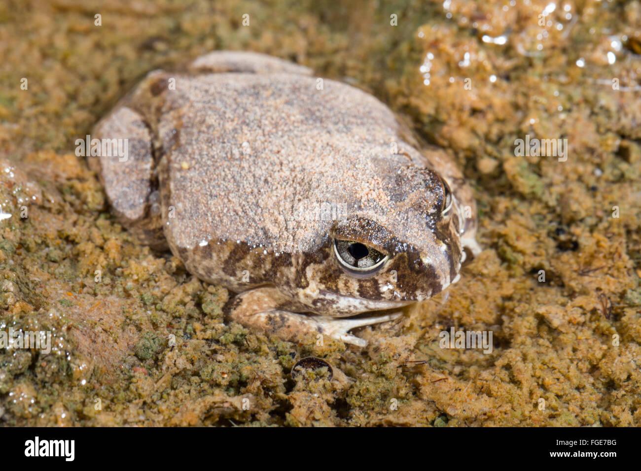 Reich verzierte wühlen Frosch (Platyplectrum Ornatum), Queensland, Australien Stockfoto