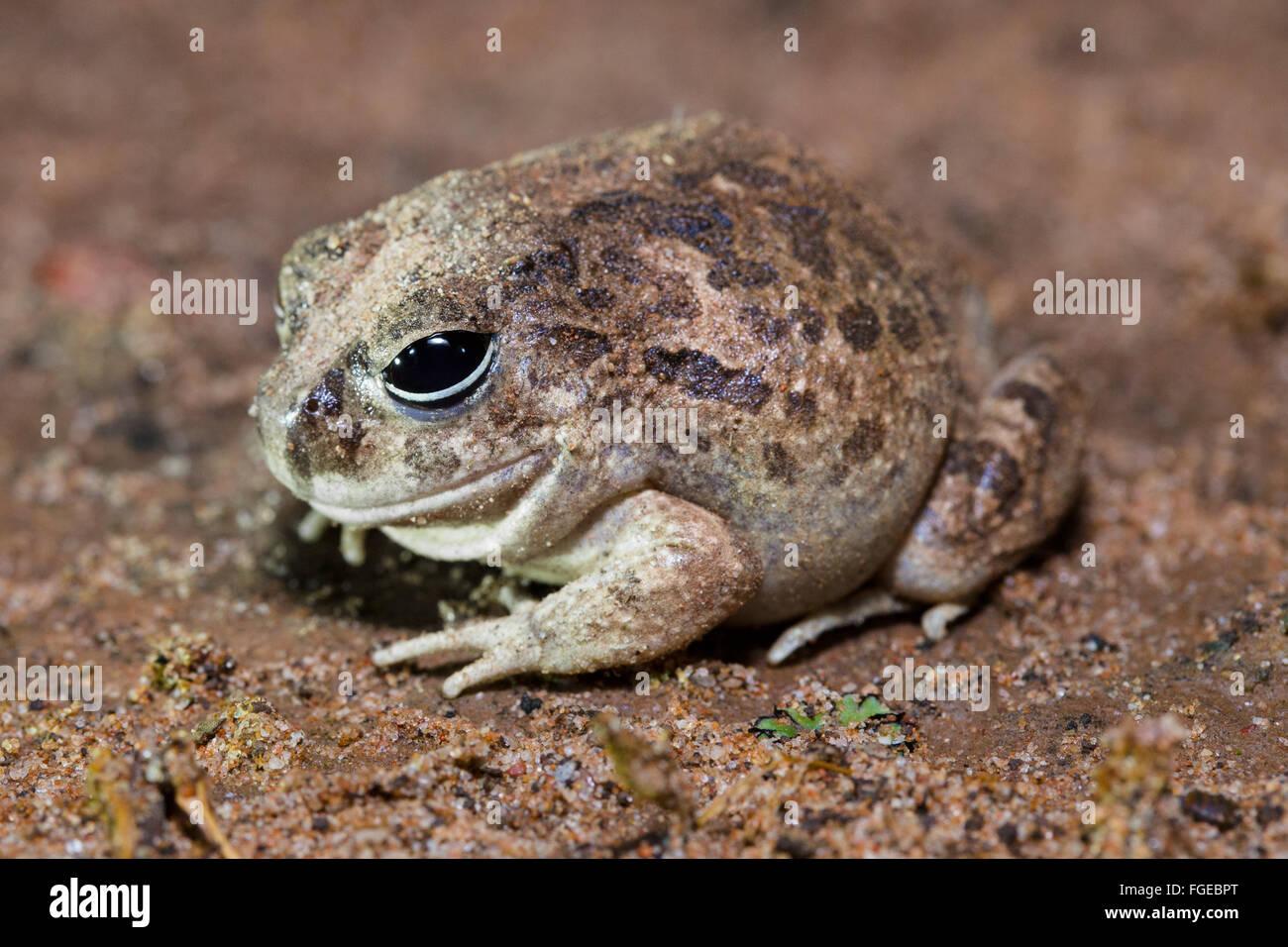 Reich verzierte wühlen Frosch (Platyplectrum Ornatum), Queensland, Australien Stockbild