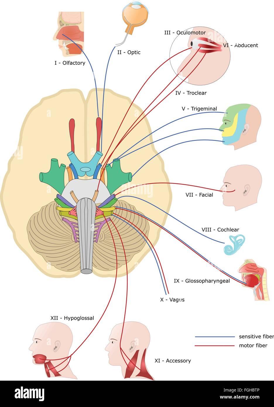 Fantastisch Hirnnerven X Fotos - Menschliche Anatomie Bilder ...