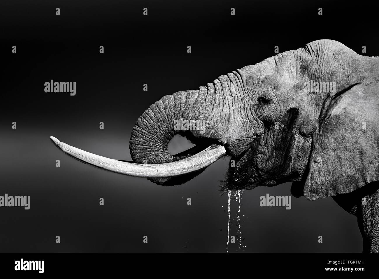 Elefantenbullen mit großen Stoßzähnen Trinkwasser. Close-up Portrait mit Seitenansicht im Addo National Park Stockfoto
