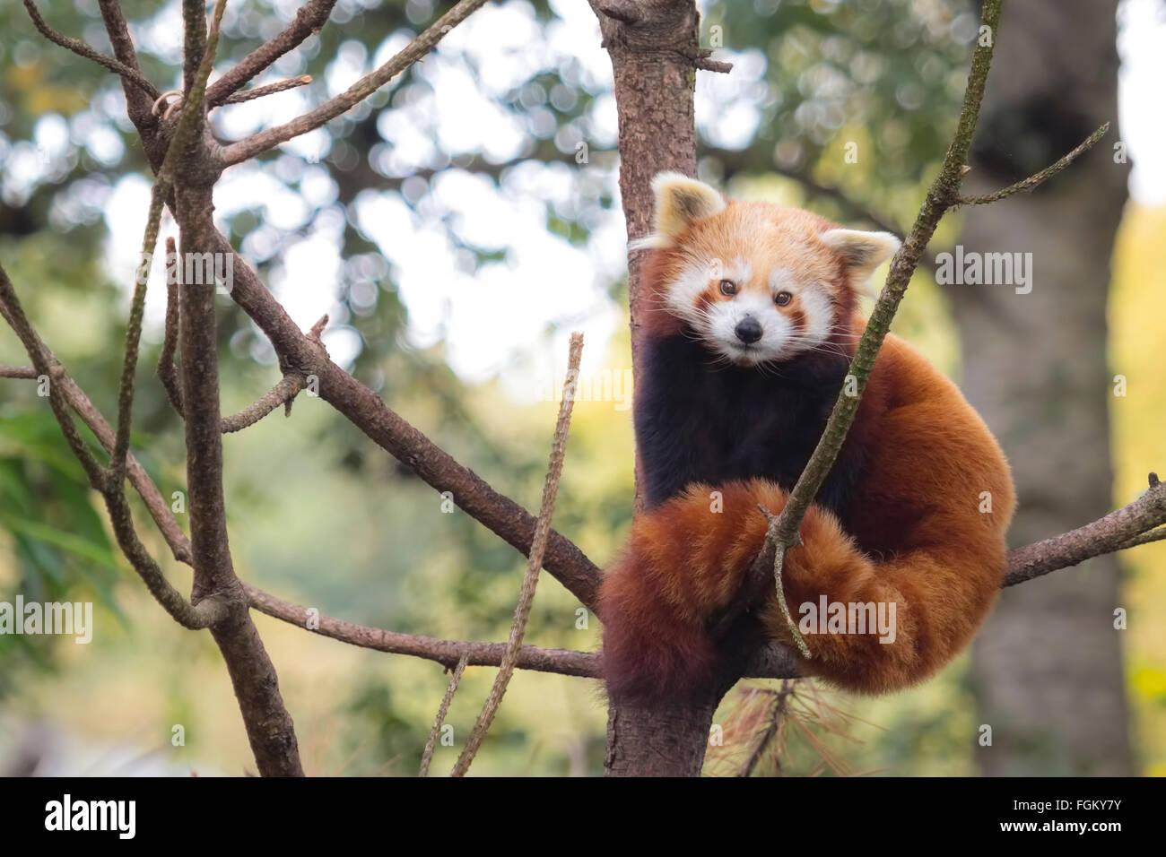 Kleine rote panda ruht in einem baum vor der kamera. dies ist eine