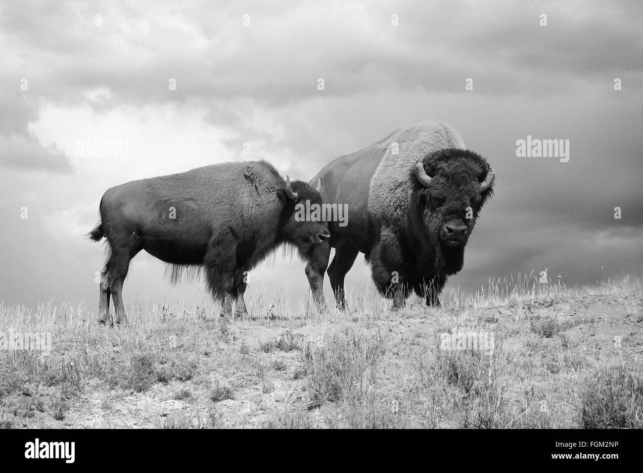 Stier und Kuh amerikanische Bison Buffalo schwarz und weiß im Yellowstone  National Park e37a8ba273