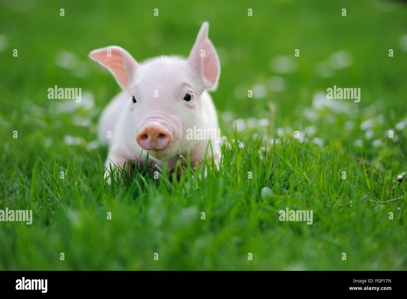 Junge Schwein auf einer Wiese Frühlingsgrün Stockbild