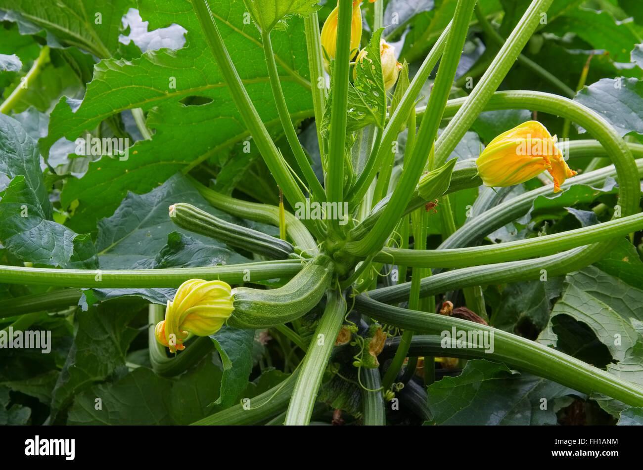 Zucchini Pflanze Im Garten   Zucchini Pflanzen Und Gemüse Im Garten