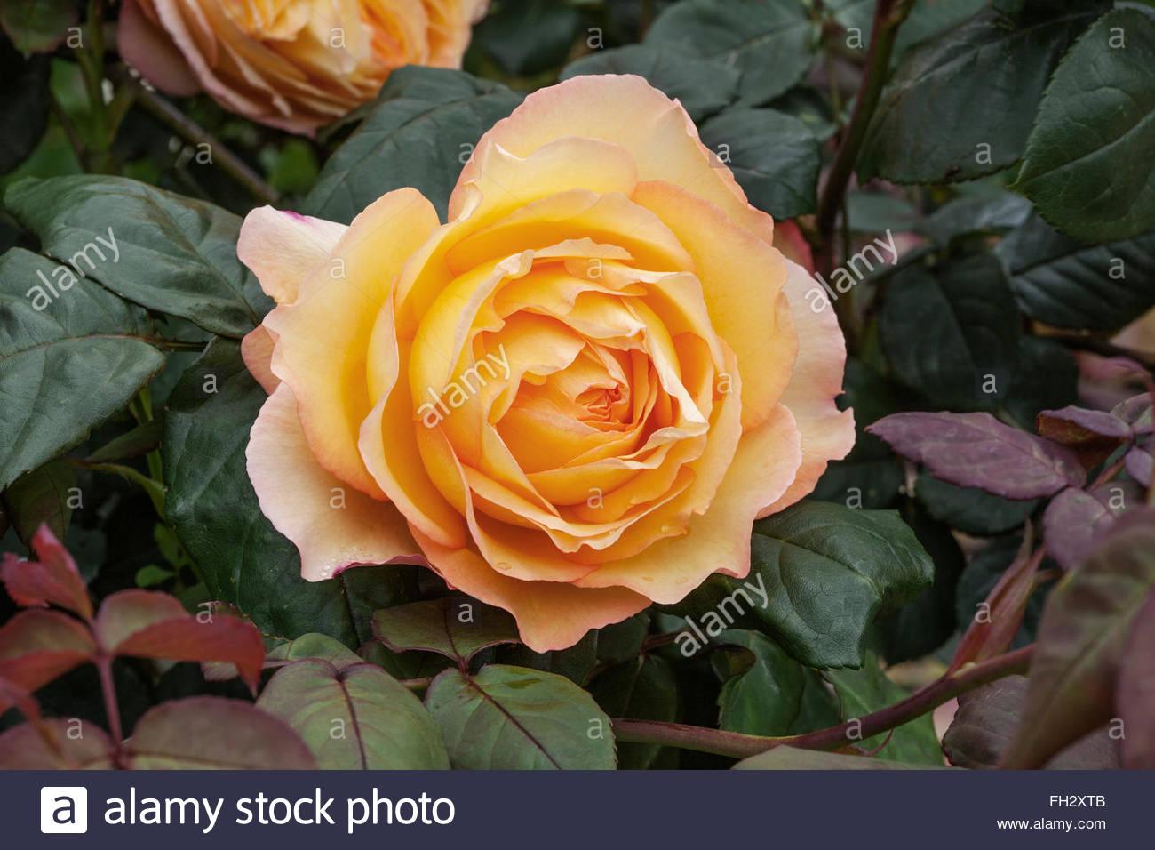 """Rosa """"Well Being"""" - duftende rose Stockbild"""