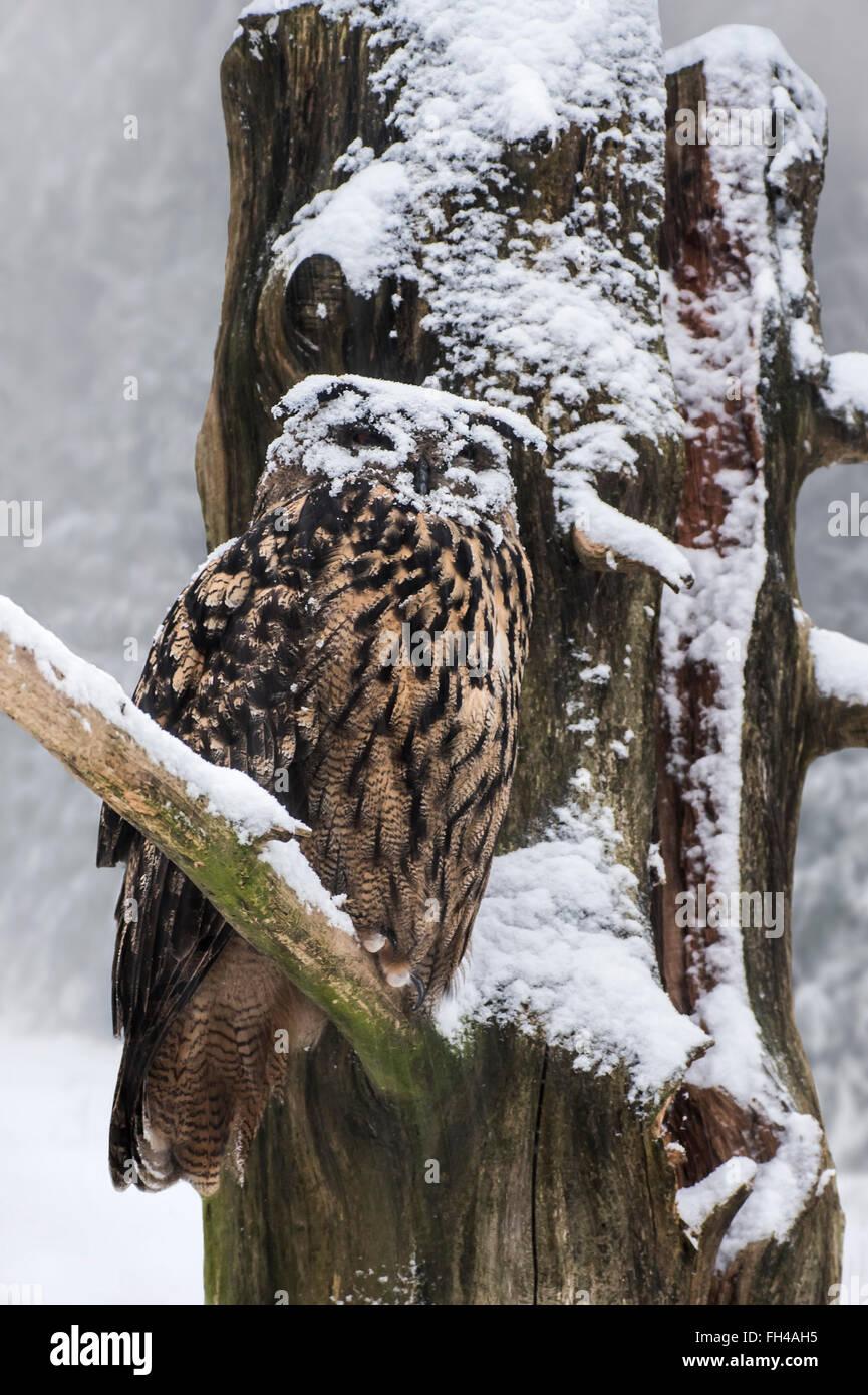 Eurasische Adler-Eule / Europäische Uhu (Bubo Bubo) mit Gesicht mit thront im Baum während der Schneedusche Stockbild