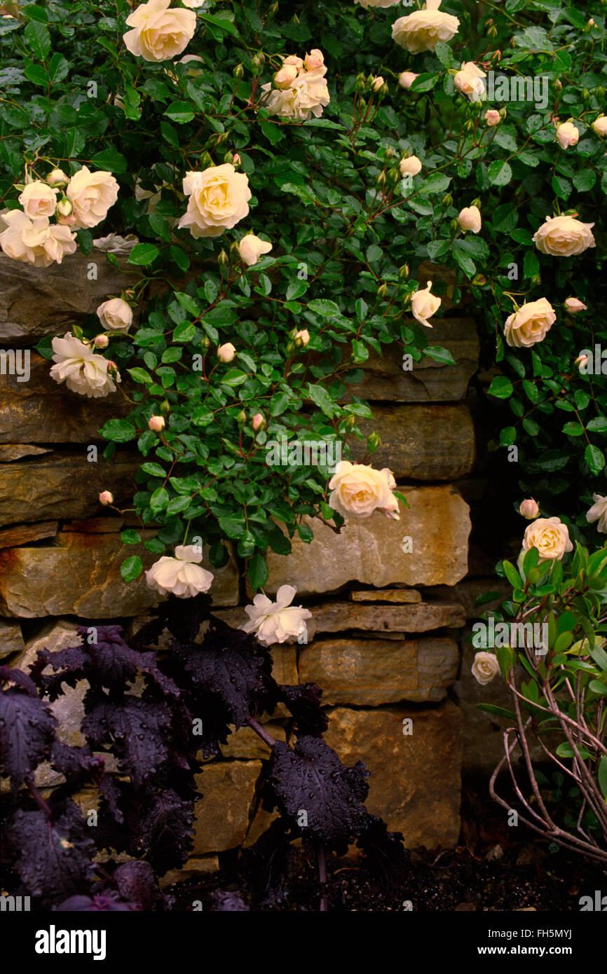Rosa Prosperität, weiß mischen, Hybrid Musk, Pemberton, Strauch, Stockbild