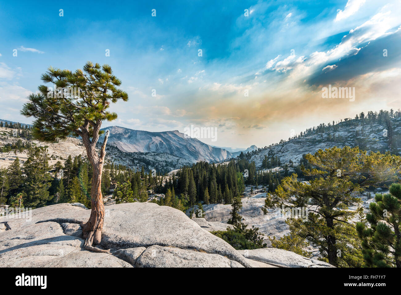 Baum, Kiefer auf einem Felsplateau in Olmsted Point, Yosemite-Nationalpark, Kalifornien, USA Stockbild