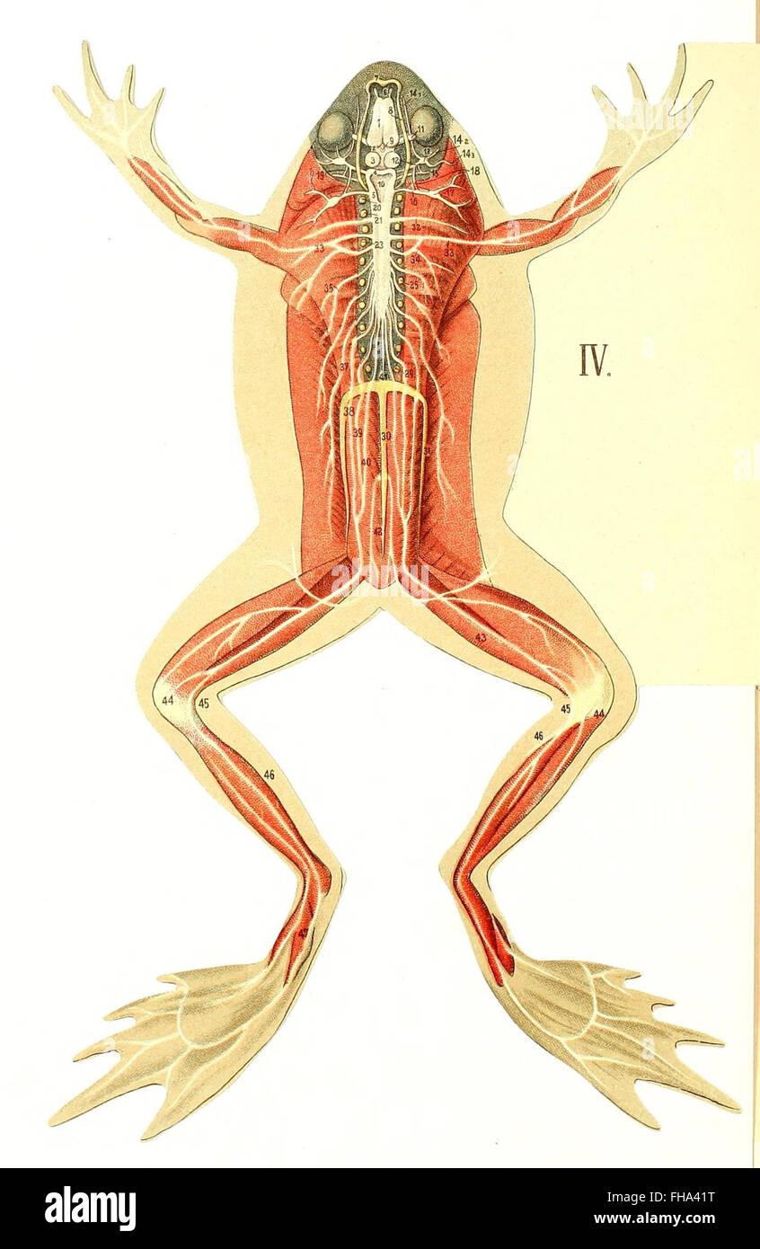 Les Animaux de Laboratoire La Grenouille (Anatomie et Dissektion ...