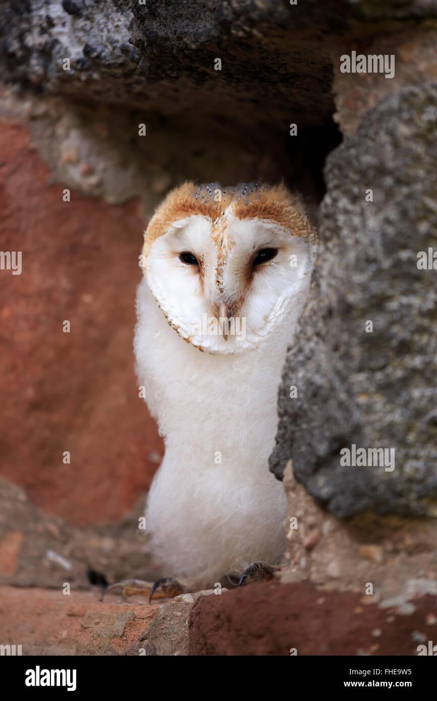 Schleiereule, jung, Pelm, Kasselburg, Eifel, Deutschland, Europa / (Tyto Alba) Stockbild