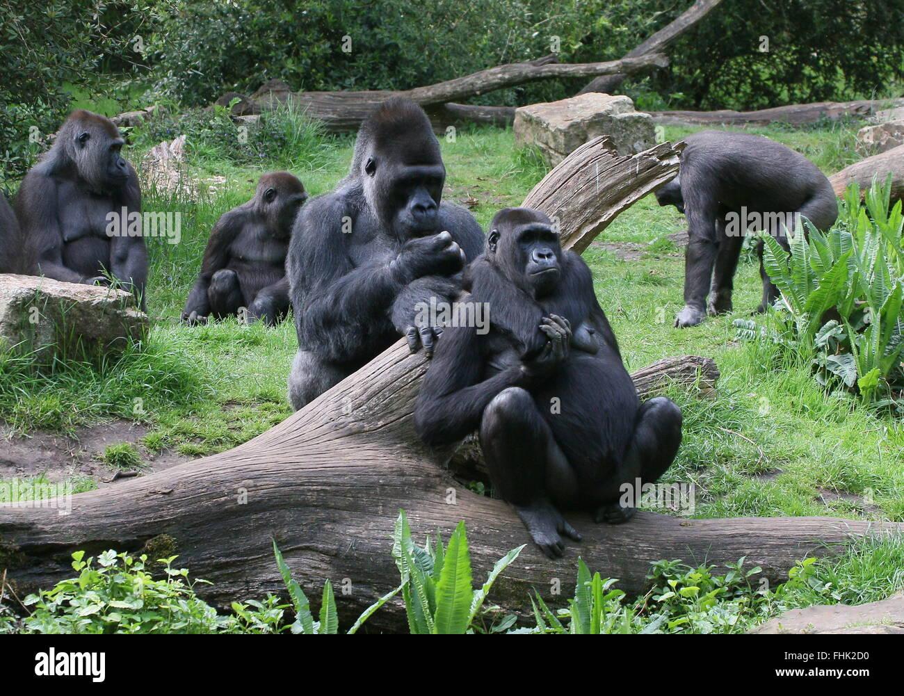 """Familie der westlichen Flachlandgorillas, chillen, alpha männlichen Silberrücken und von seinen """"besten Stockbild"""