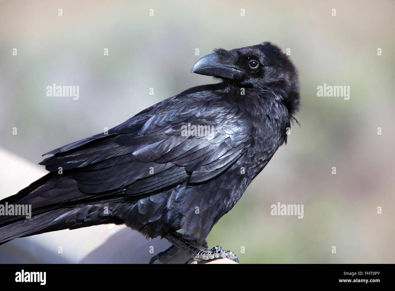Kolkrabe (Corvus Corax), ab, Kanarische Inseln, Spanien. Stockbild