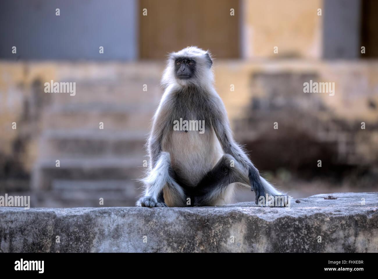 wilde Affen in Rajasthan, Indien Stockbild