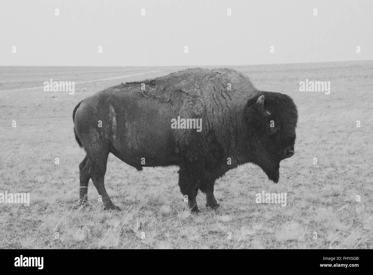 Eine amerikanischen Bison auf freiem Feld in schwarz und weiß auf Antelope  Island in Utah. 280b4d64ed