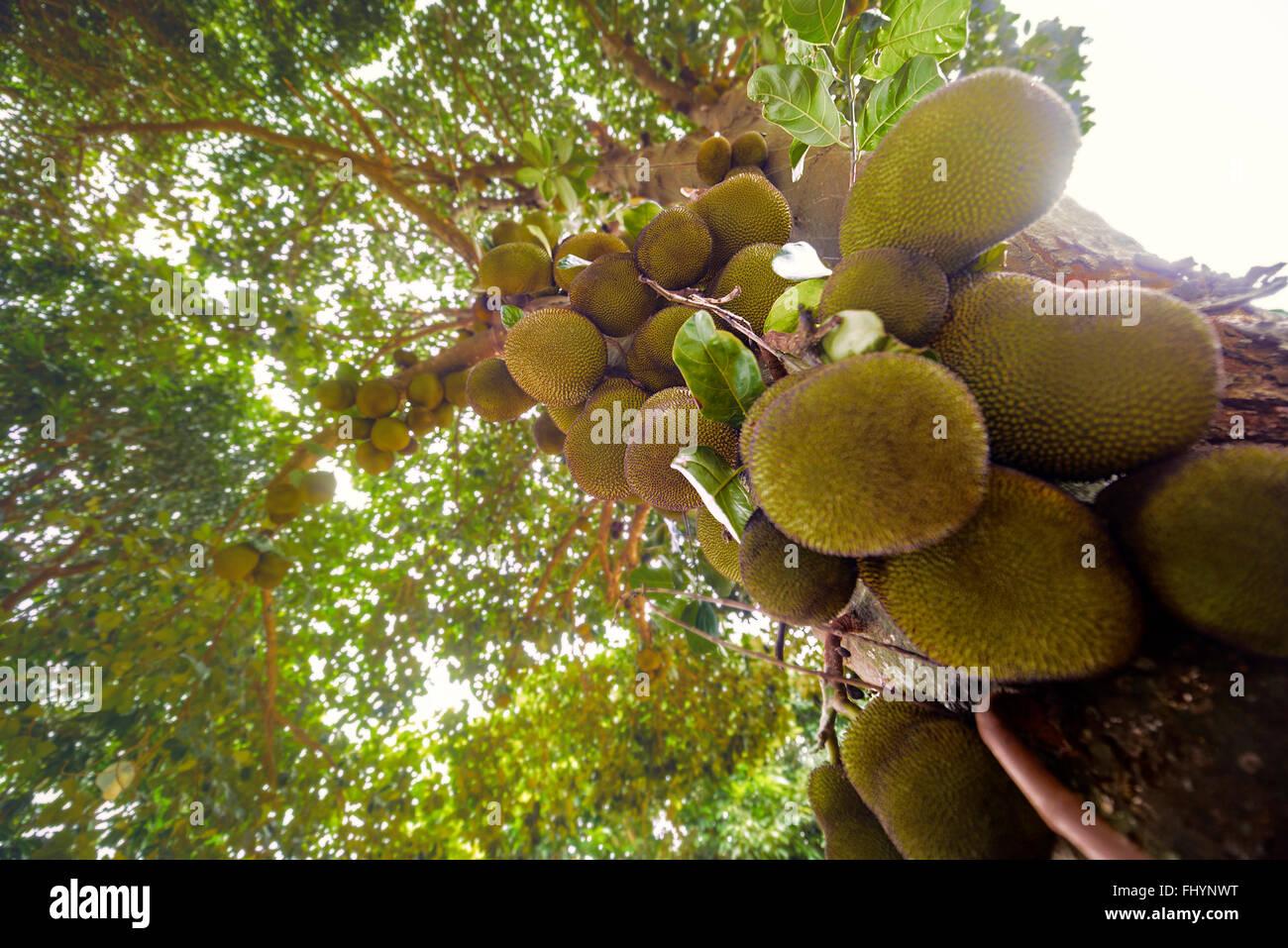 Jackfrüchte (Artocarpus Heterophyllus) Baum mit Obst wächst, niedrigen Winkel Ansicht. Stockbild