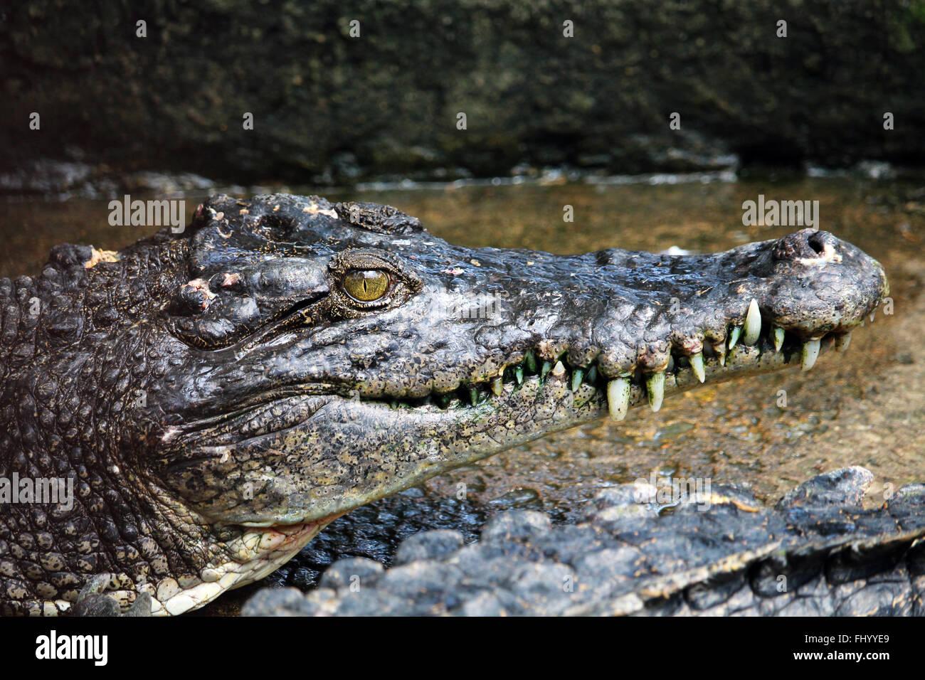 MIRI/MALAYSIA - 24. November 2015: ein kleines Krokodil mit großen Zähnen in Borneo Stockbild