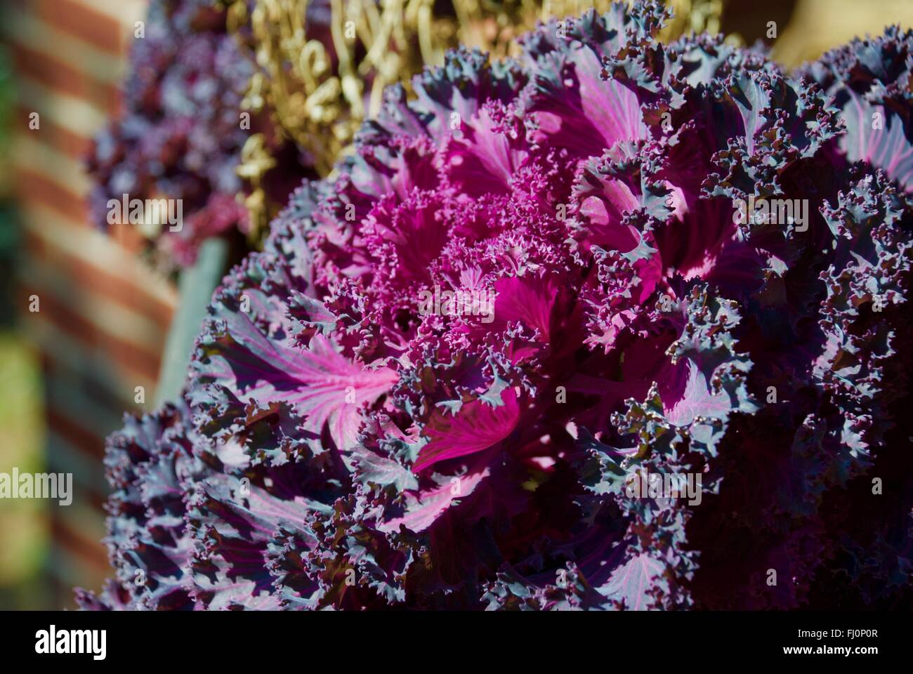 purple lettuce stockfotos purple lettuce bilder alamy. Black Bedroom Furniture Sets. Home Design Ideas
