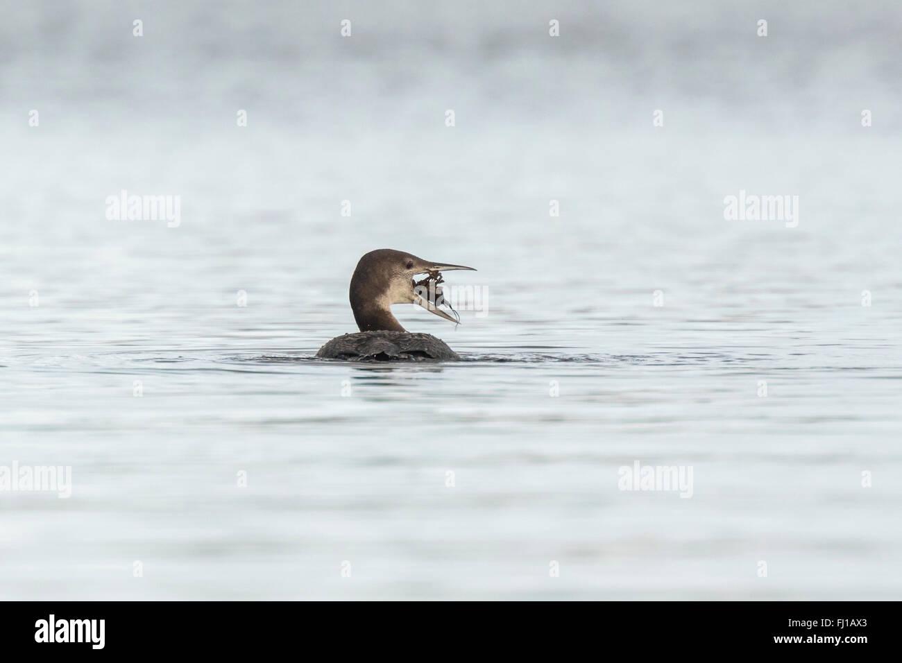 Gemeinsamen Loon (Gavia Immer) auch bekannt als die große nördliche Taucher oder großen nördlichen Loon Jagd und Stockfoto