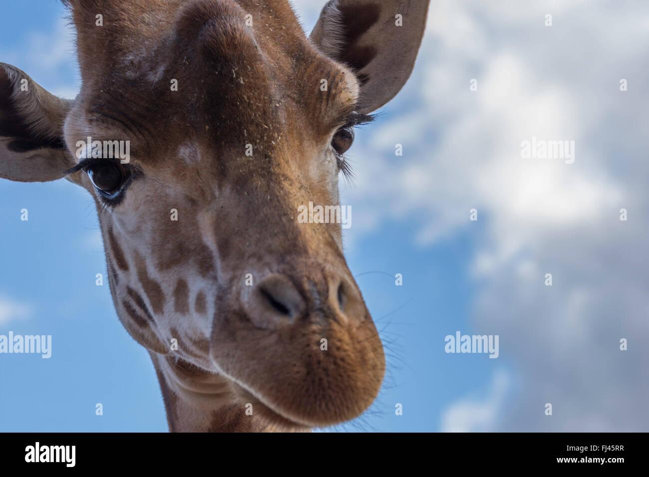 Eine schöne Giraffe aus nächster Nähe Stockbild