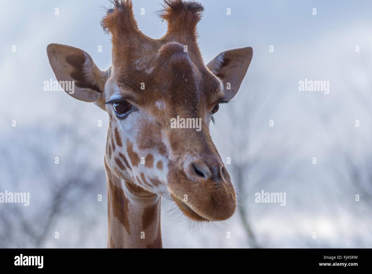 Eine Giraffe aus nächster Nähe Stockbild