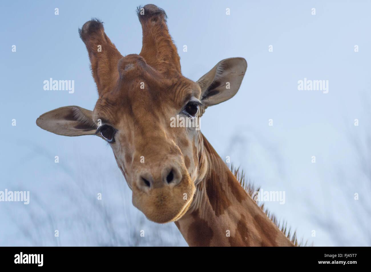 Eine Giraffe nach unten Stockbild