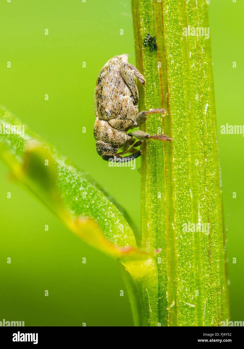 Schnauze Käfer (Microplontus Campestris), weibliche nach der Eiablage auf Ochsen-Auge Daisy (Leucanthemum Vulgare), Stockbild