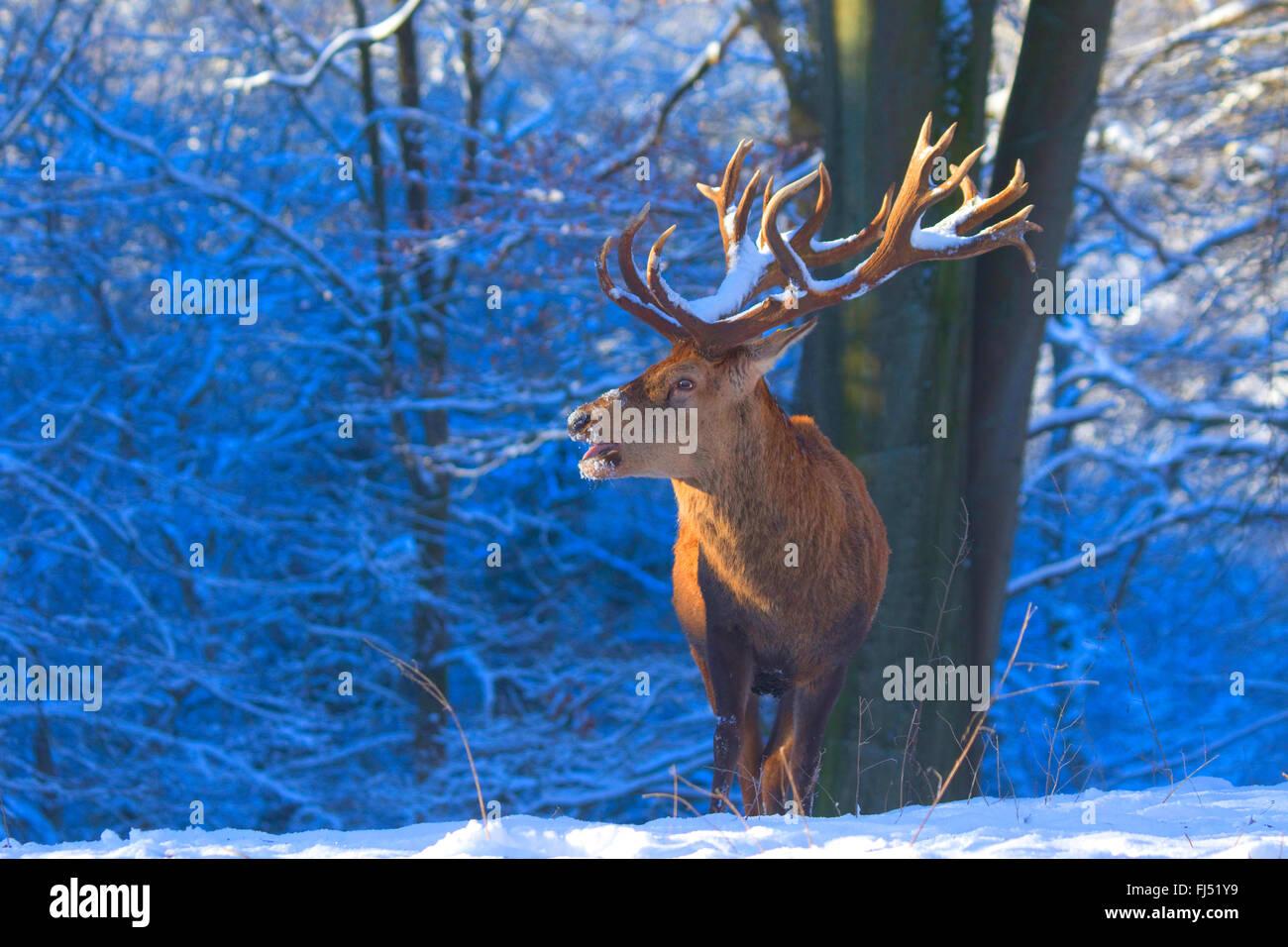 Rothirsch (Cervus Elaphus), beeindruckende Hirsch im Winter, Deutschland, Nordrhein-Westfalen Stockbild