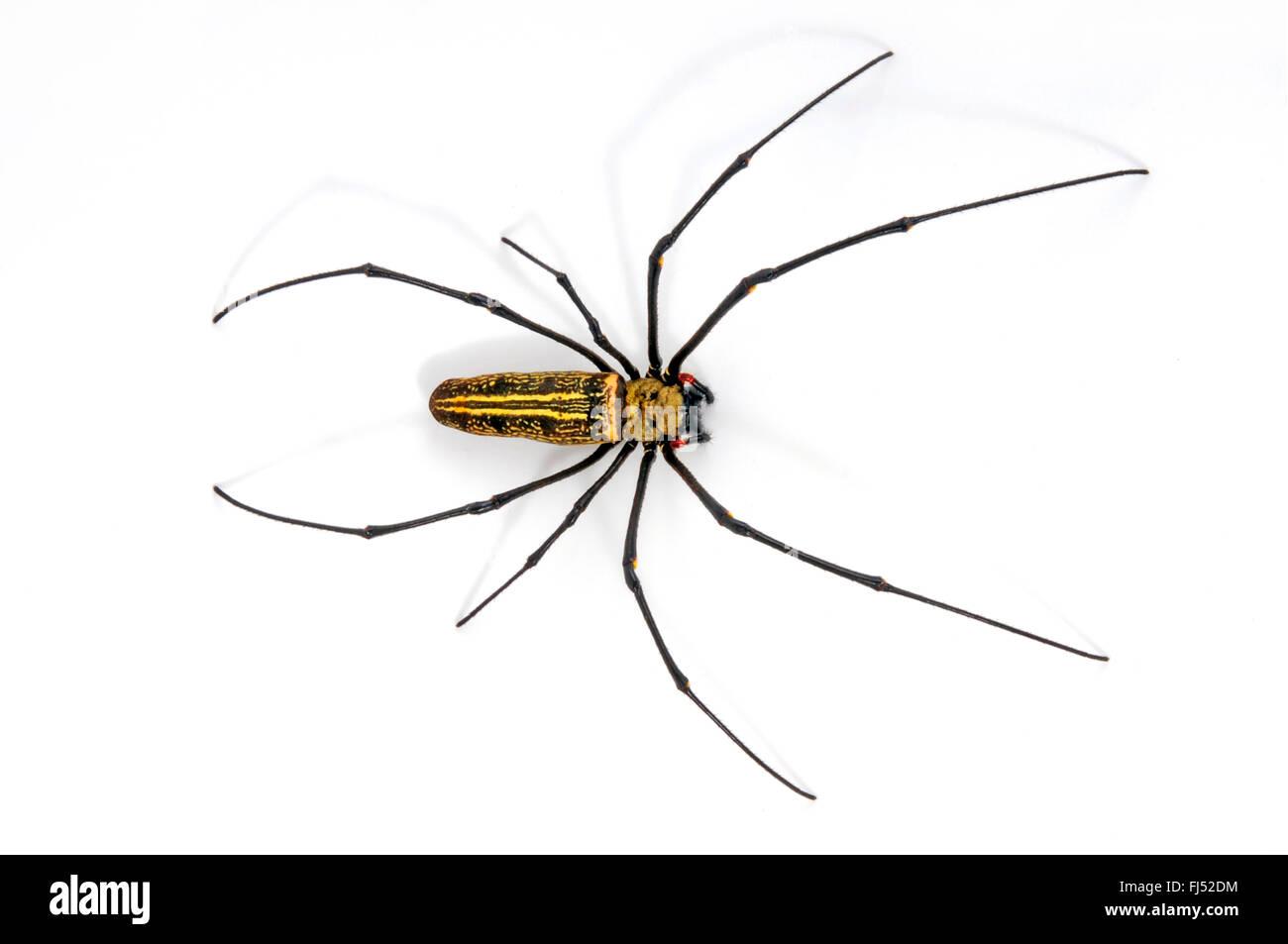 Seidenspinnen (Nephilidae), Ausschnitt Stockbild