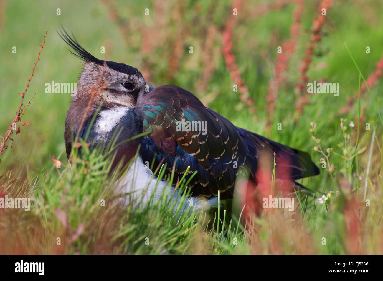 nördlichen Kiebitz (Vanellus Vanellus), ruht Altvogel in Eclipse Gefieder, Seitenansicht auf Rasen, Deutschland, Stockbild