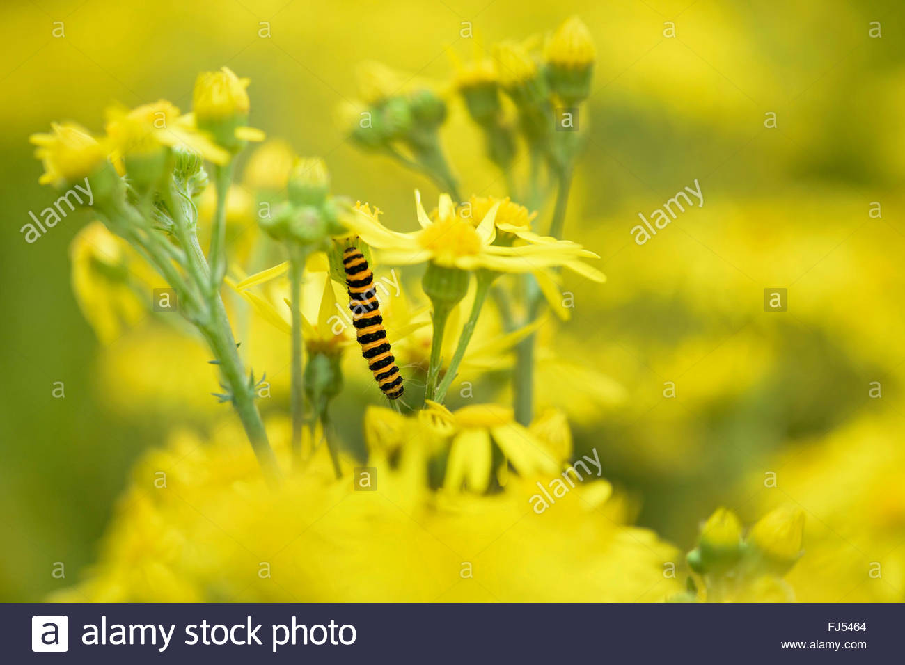 black and yellow moth stockfotos black and yellow moth bilder alamy. Black Bedroom Furniture Sets. Home Design Ideas