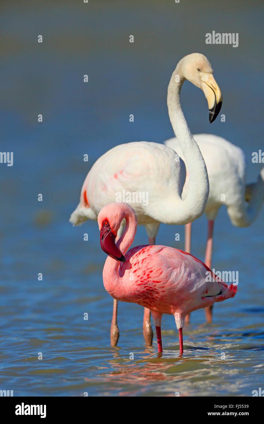 Lesser Flamingo (Phoenicopterus minor, Phoeniconaias minor), stehen im flachen Wasser zusammen mit einem Rosaflamingo, Stockbild