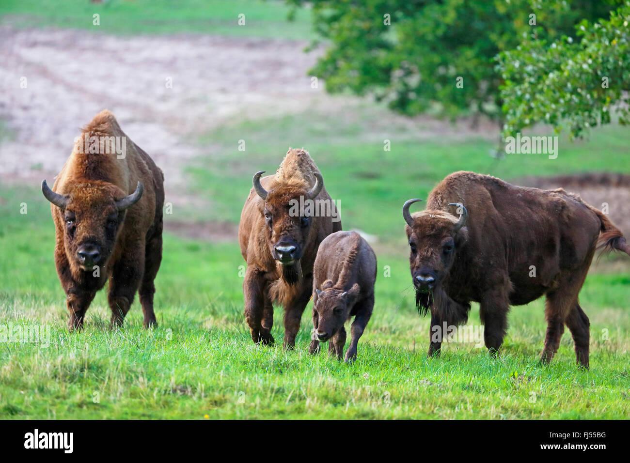 europ ische bison wisent bison bonasus gruppe mit einem kalb auf einer wiese deutschland. Black Bedroom Furniture Sets. Home Design Ideas