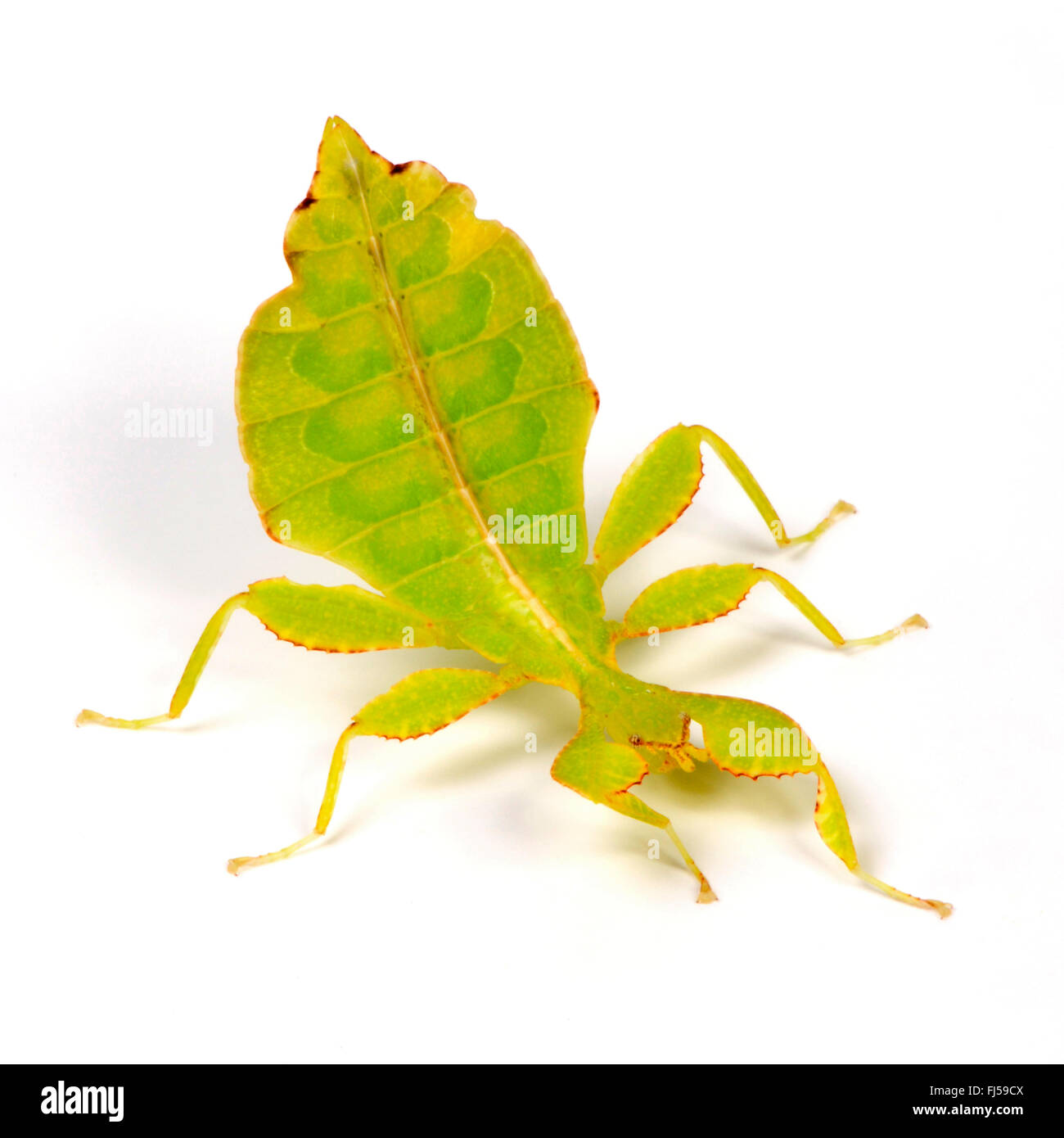 Celebes Blatt Insekt, Blatt Insekt, laufen lassen (Phyllium Celebicum), Weiblich, geschnitten aus Stockbild