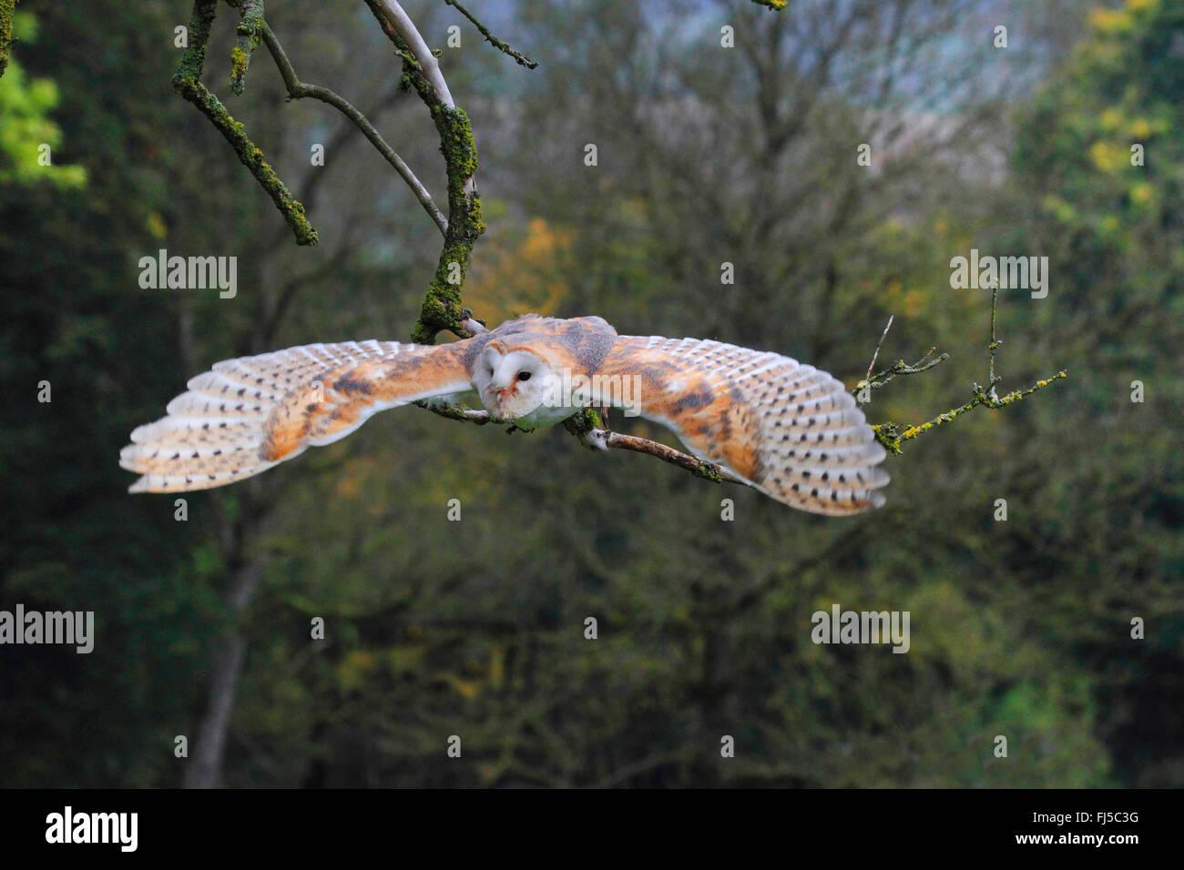 Schleiereule (Tyto Alba), fliegen, Deutschland Stockbild