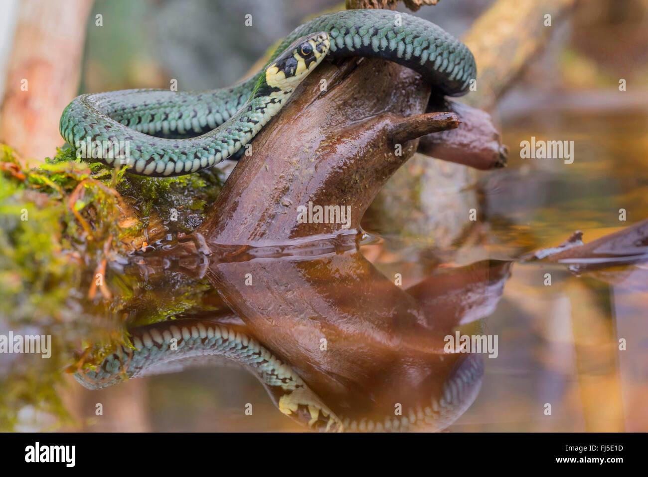Ringelnatter (Natrix Natrix), lauern auf Beute am Wasser, Deutschland, Bayern, Niederbayern, Niederbayern Stockbild