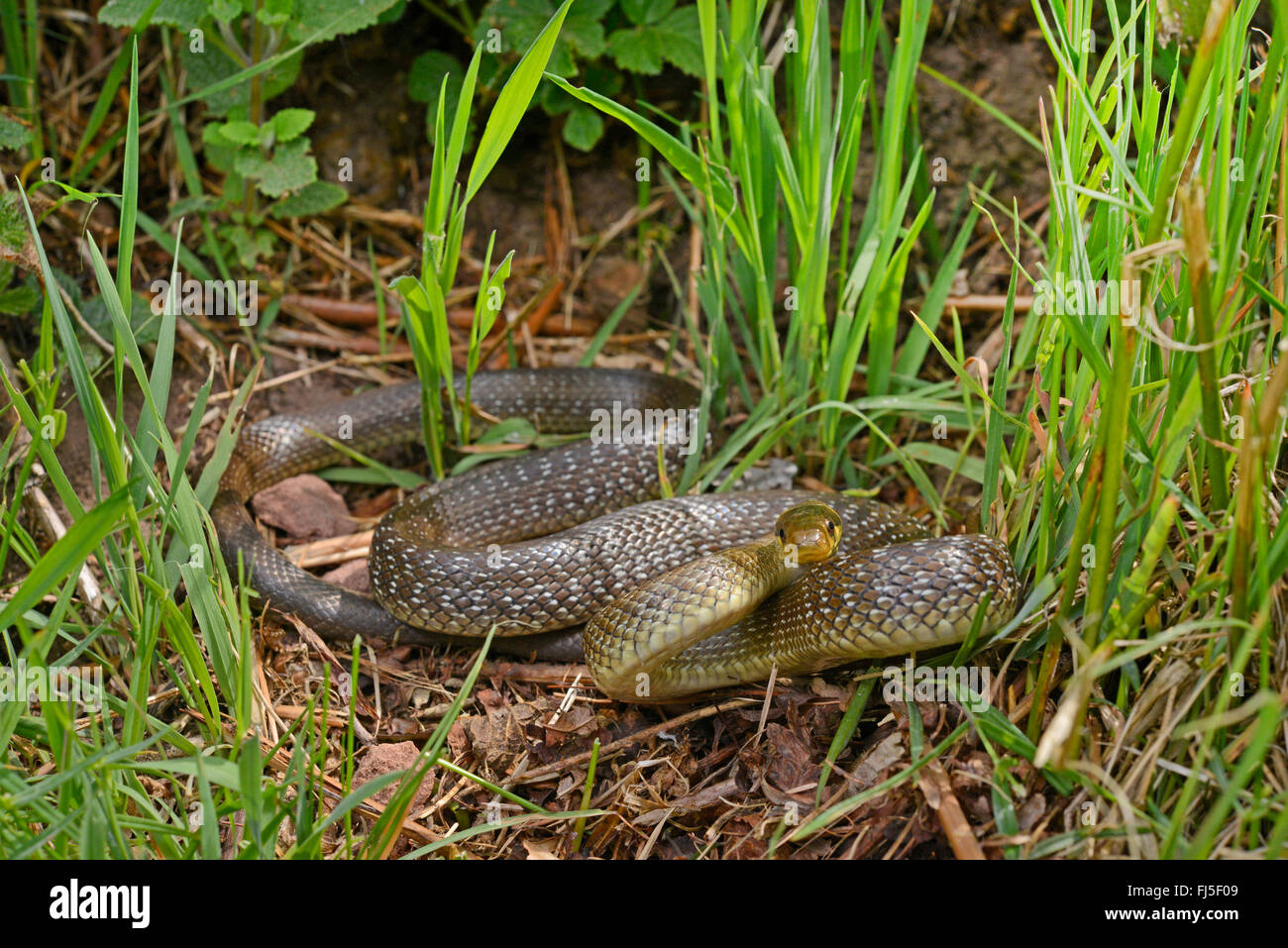 European ratsnake snake ratsnake stockfotos european for Boden deutschland