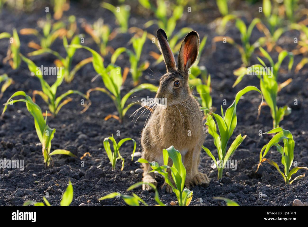 Feldhase, Feldhasen (Lepus Europaeus), auf einem Feld bei Gegenlicht, Österreich, Burgenland, Seewinkel Stockbild