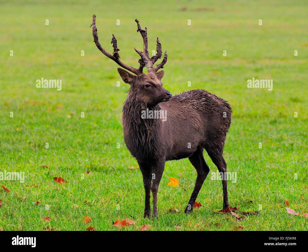 Sika Rotwild, zahm Sika Hirsche, zahmes Rotwild (Cervus Nippon), Sika Hirsch stehend auf einer Wiese Stockbild