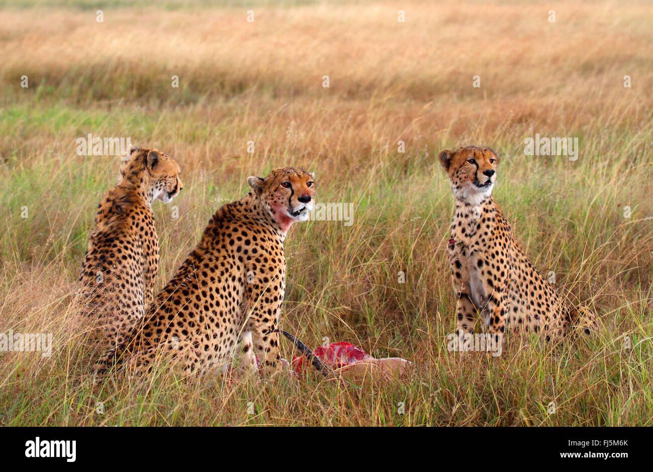 Gepard (Acinonyx Jubatus), drei wachsamen Geparden Fütterung eine Jagd nach unten Gazelle, Kenia, Masai Mara Stockbild