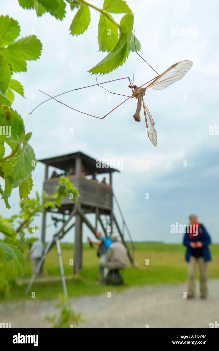 Crane Fly (Tipula spec.), auf einem Zweig mit Blättern, in den Hintergrund Personen auf einem Hochsitz, Apetlon, Stockbild