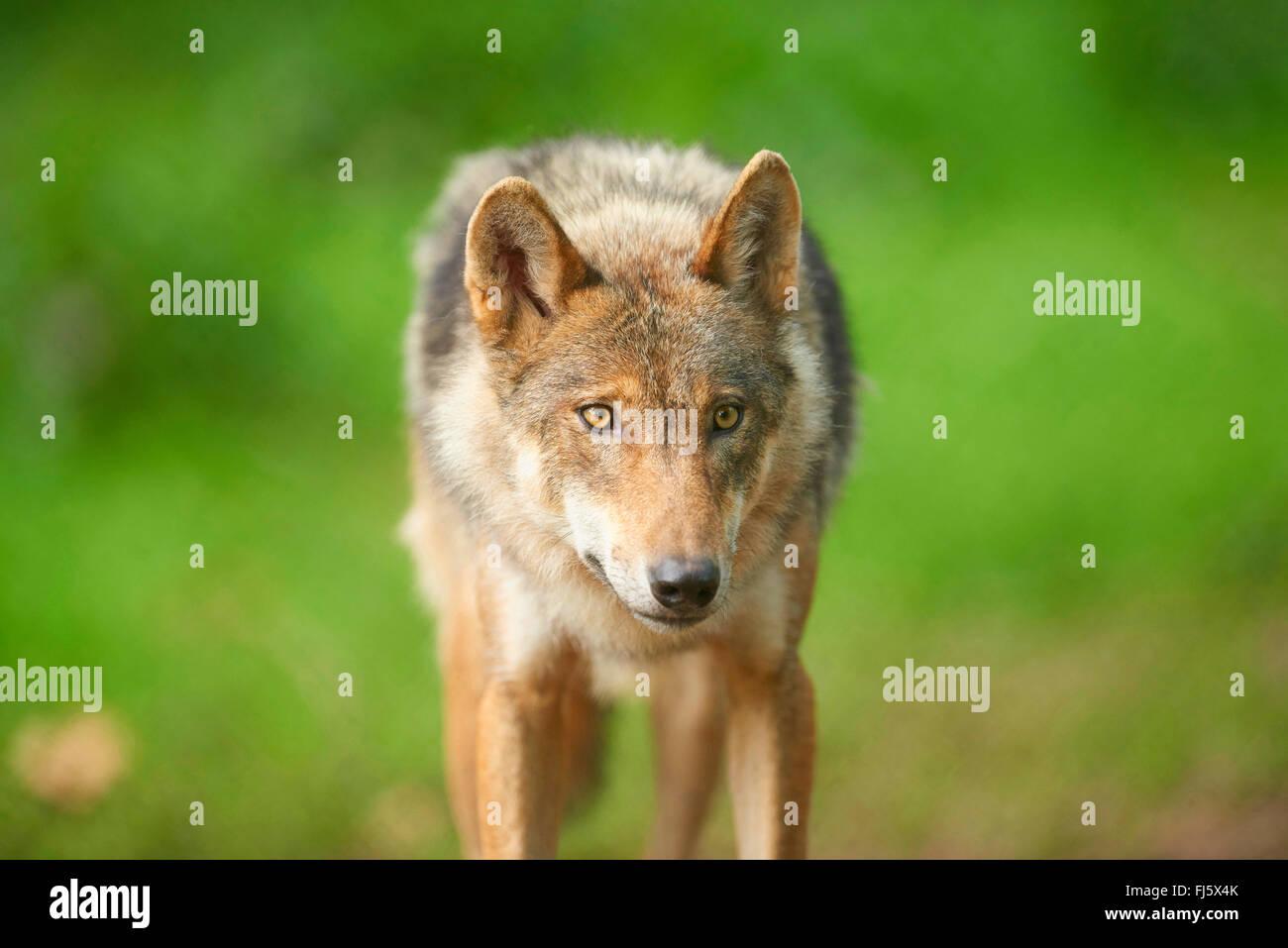Europäische graue Wolf (Canis Lupus Lupus), Portrait eines Wolfes, front Ansicht, Deutschland, Bayern Stockbild