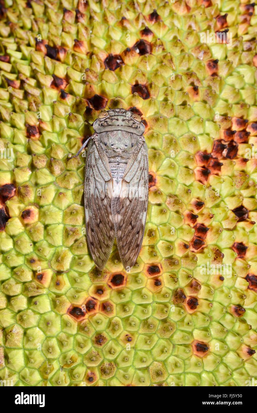 Zikaden (Auchenorrhyncha), Zikade auf eine Brotfrucht, Madagaskar, Nosy Be, Lokobe Reserva Stockbild