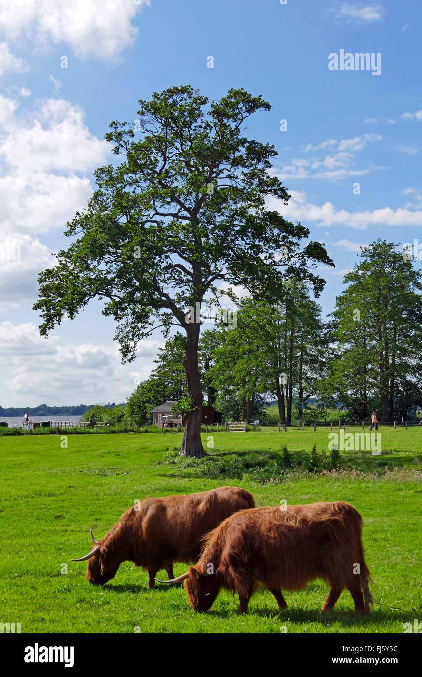 Schottische Hochlandrinder, Rutland (Bos Primigenius F. Taurus), senken Sie zwei Highland Rinder auf einer Weide, Stockbild
