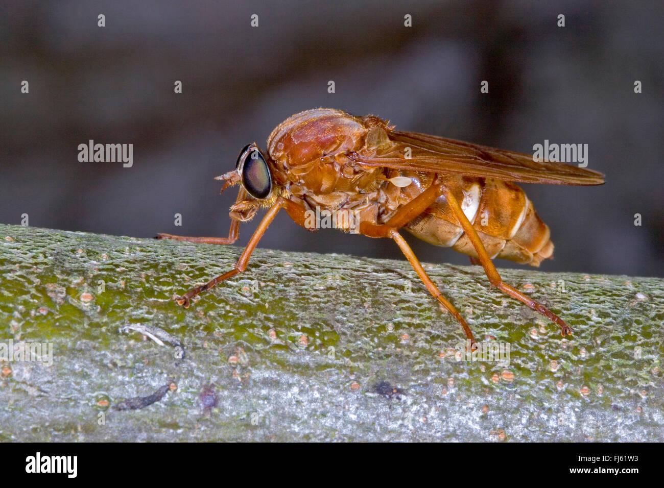 stinken Sie Fliege (Coenomyia Ferruginea), auf einem Zweig, Deutschland Stockbild