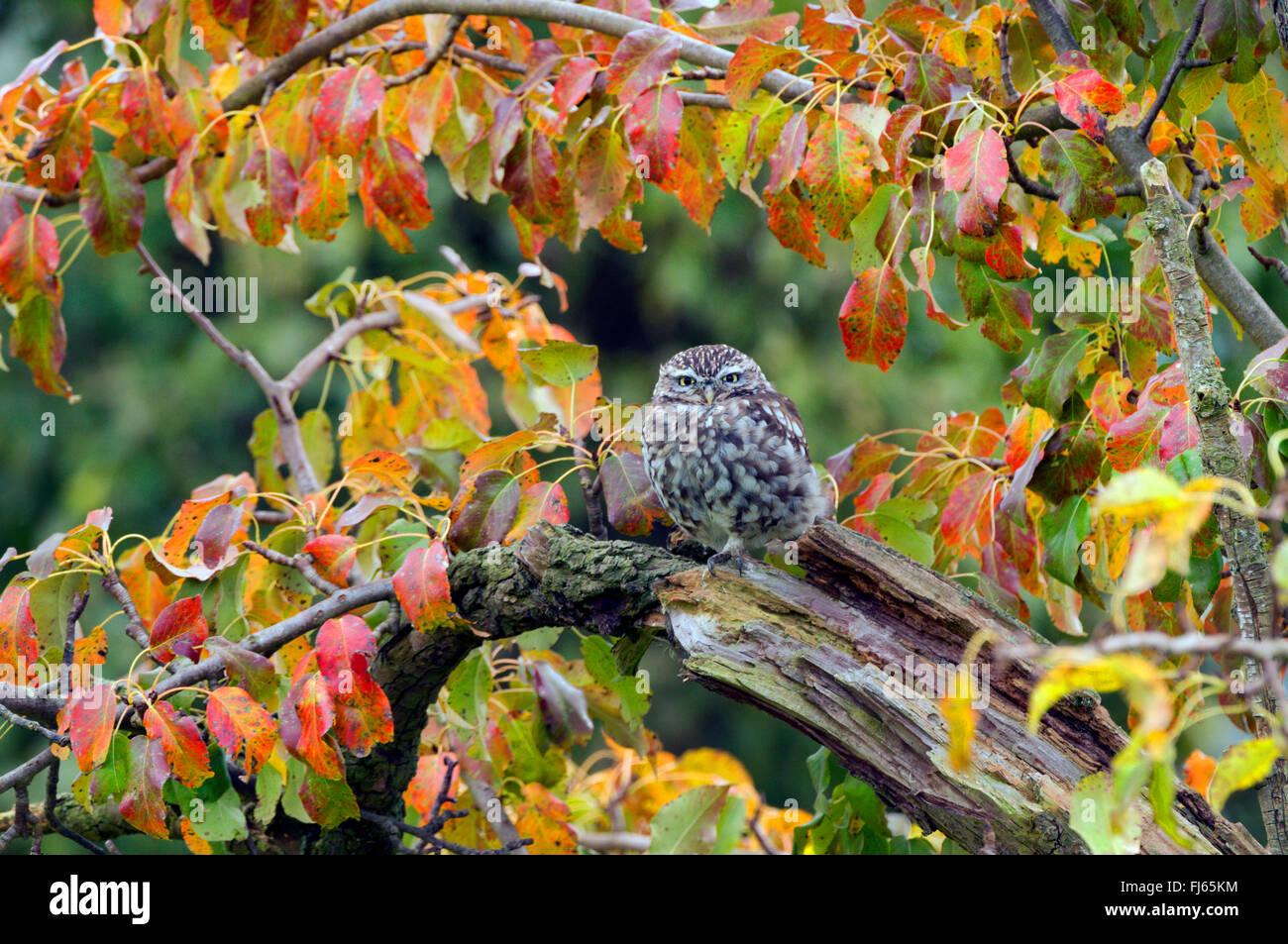 Steinkauz (Athene Noctua), auf eine alte Ast, Deutschland, Nordrhein-Westfalen Stockbild
