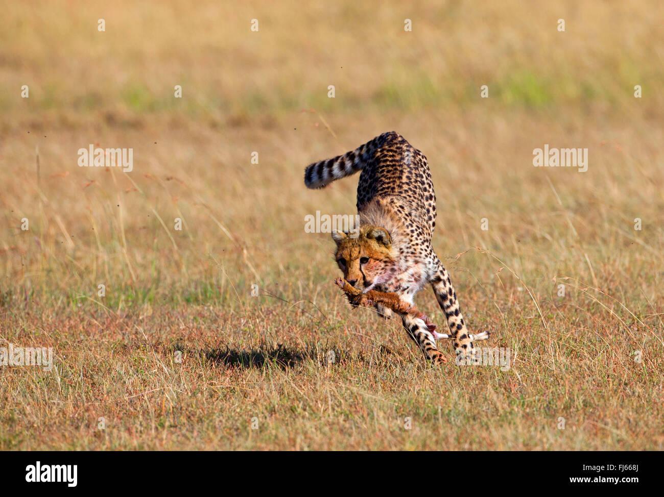 Gepard (Acinonyx Jubatus), flieht mit einem Kadaver im Maul, Kenia, Masai Mara Nationalpark Stockbild