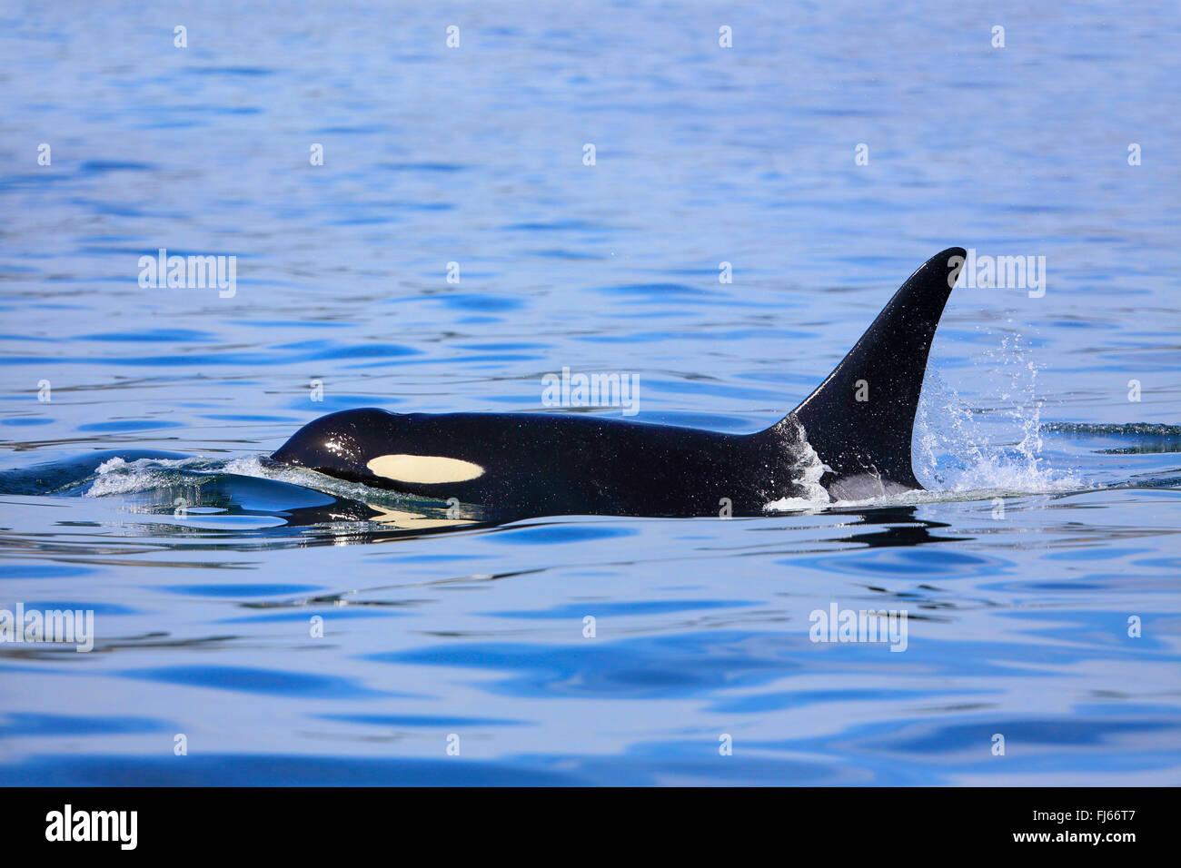 Großer Schwertwal, Orca, Schwimmen männlich, Kanada, Victoria, Haro Strait, Grampus (Orcinus Orca) Stockfoto