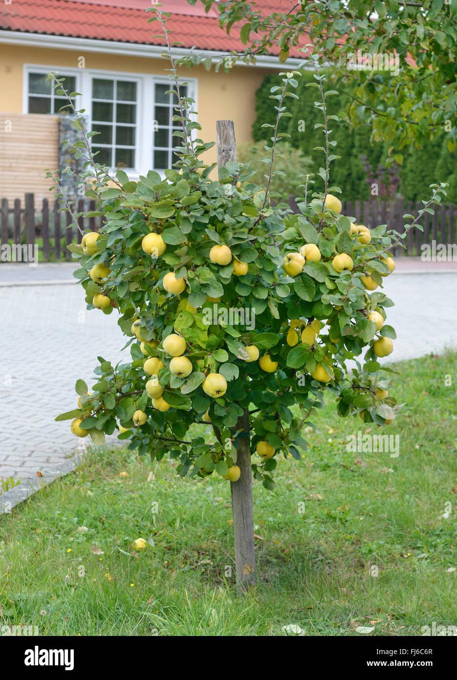 Gemeinsamen Quitte (Cydonia Oblonga 'Konstantinopeler', Cydonia Oblonga Konstantinopeler), Frucht auf einem Stockbild
