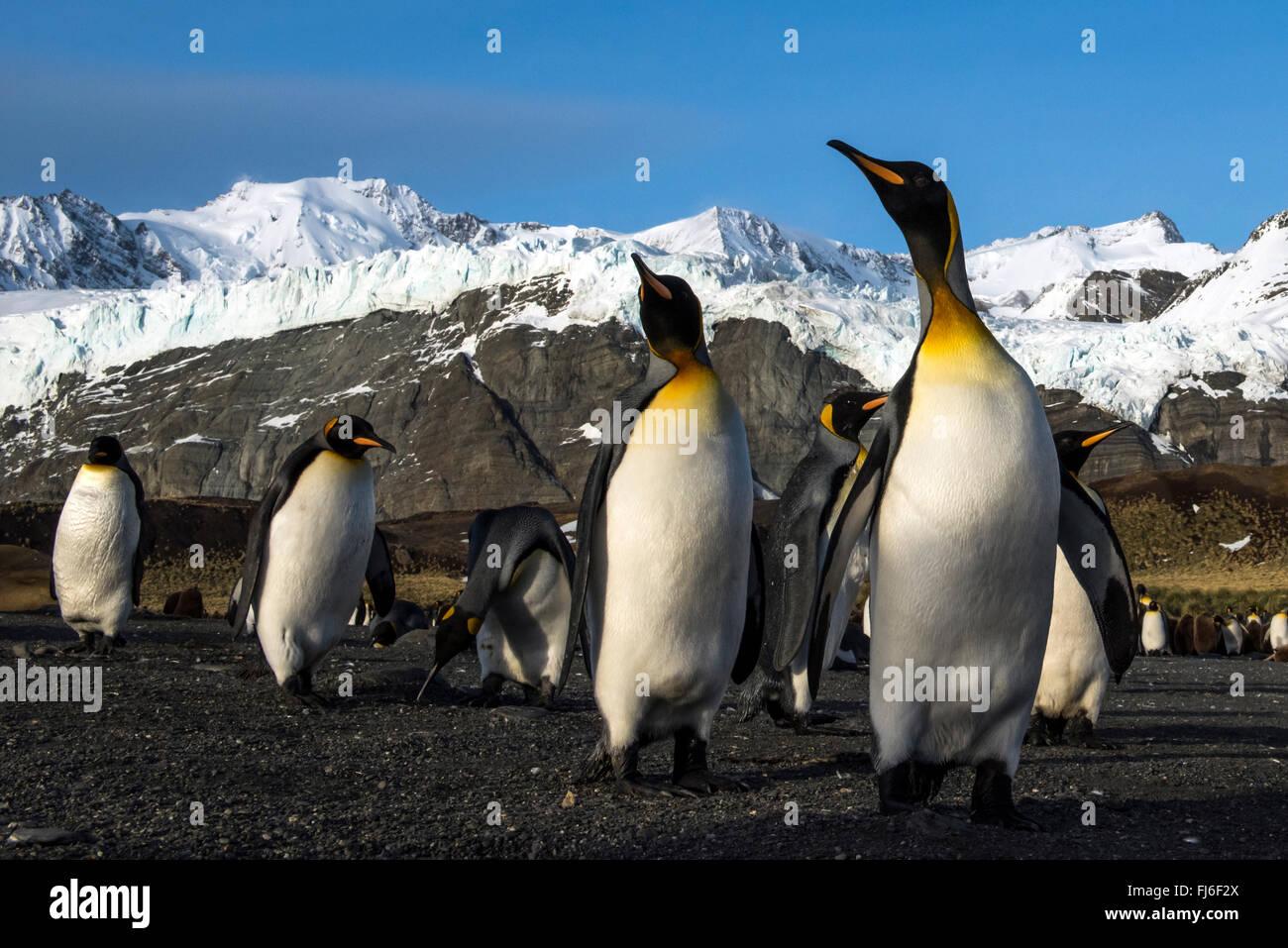 King Penguin (Aptenodytes Patagonicus) Erwachsene am Strand Gold Harbour, Süd-Georgien Stockbild