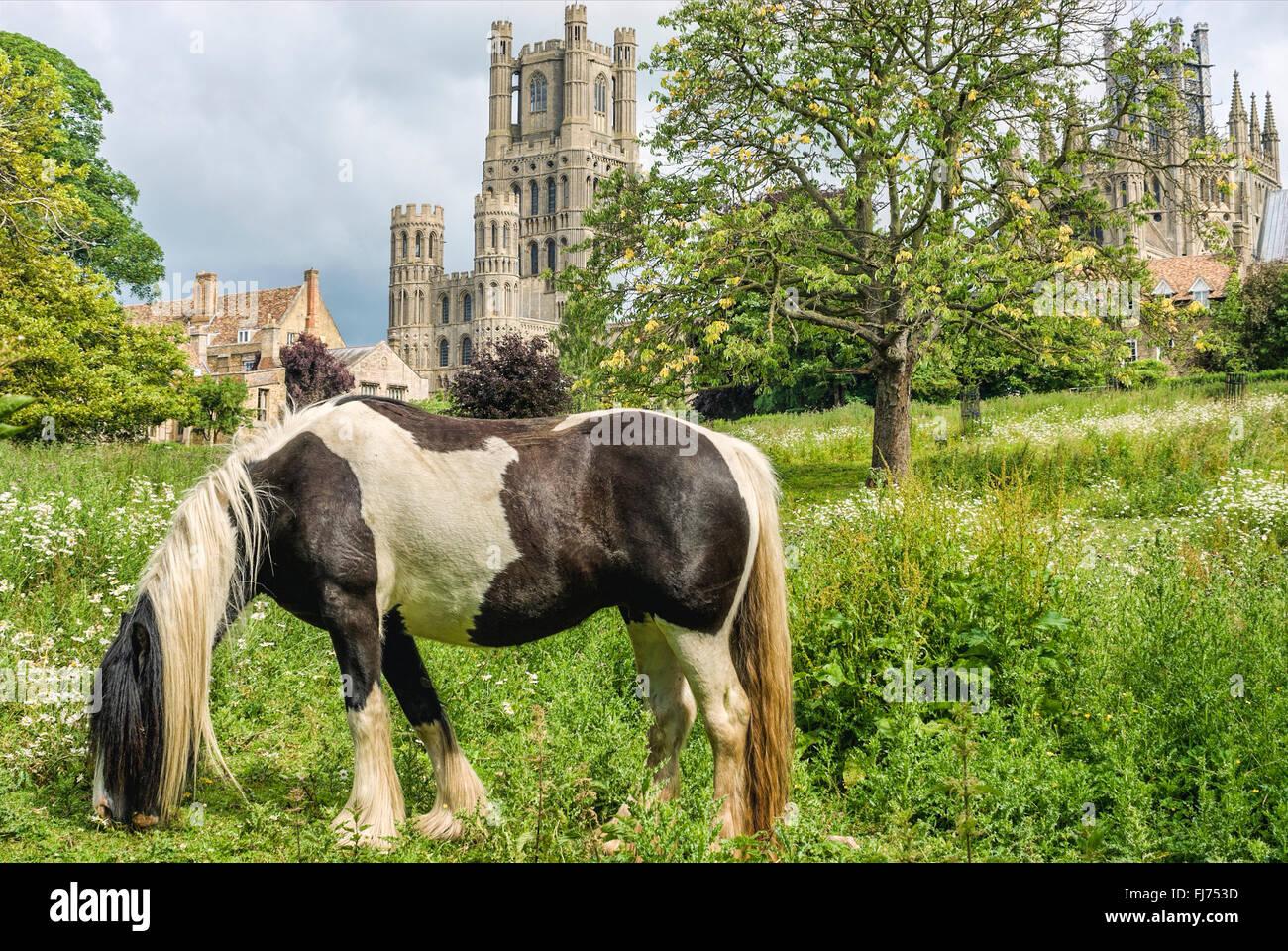 Skewbal Pony auf einer Wiese mit Ely Kathedrale im Hintergrund, Ely, Cambridgeshire, England   Kathedrale von Ely, Stockbild